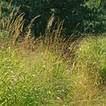 Native Grass Mix